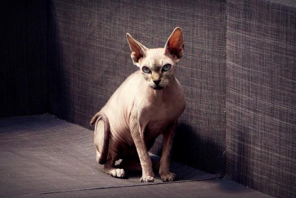 Chats sans poils en Belgique