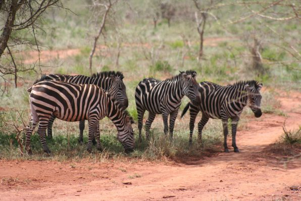Parc Akagera : un safari magique