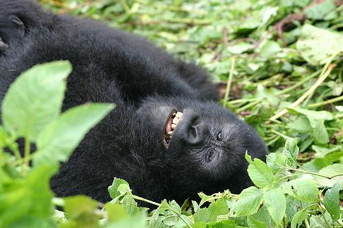 les gorilles du Rwanda