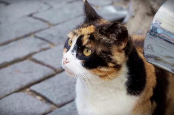 Istanbul Cat12