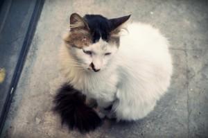 Istanbul Cat